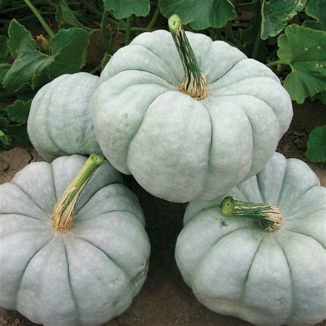 when to plant pumpkin seeds for 1000 ideas about planting pumpkin seeds on