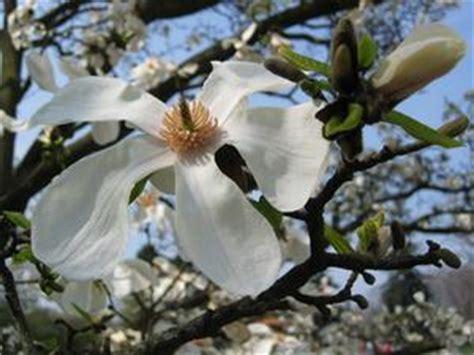 come si disegna un fiore come disegnare un fiore di magnolia russelmobley