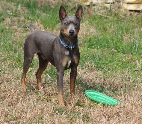 american hairless terrier puppies american hairless terrier