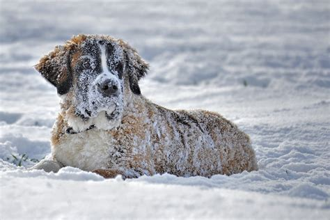 hypothermia in dogs hypothermia in dogs cats avoid pupsicles and catsicles
