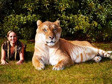 world s largest hercules hercules the world s largest cat is 3 meters wow amazing