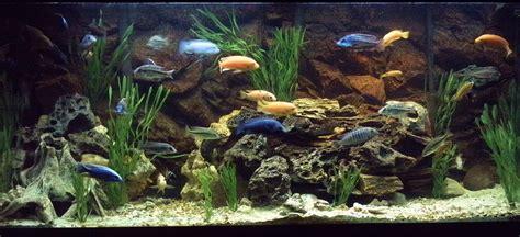 aquascaping african cichlid aquarium cichlids com 120 african cichlid tank