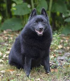 belgian sheepdog information schipperke dogs breed information omlet