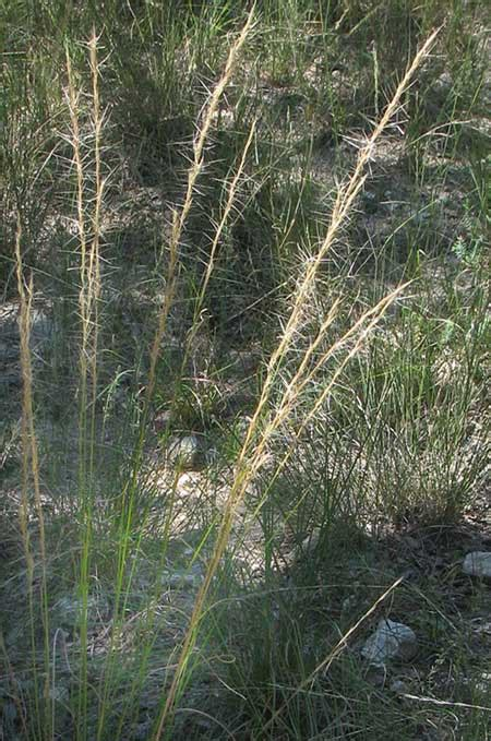 what is a grass awn what is a grass awn 28 images awn botany wikipedia