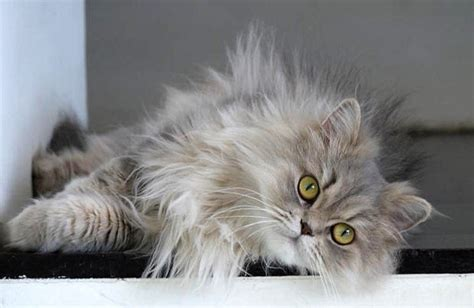 Long Haired Cat Breeds ? Purrfect Cat Breeds
