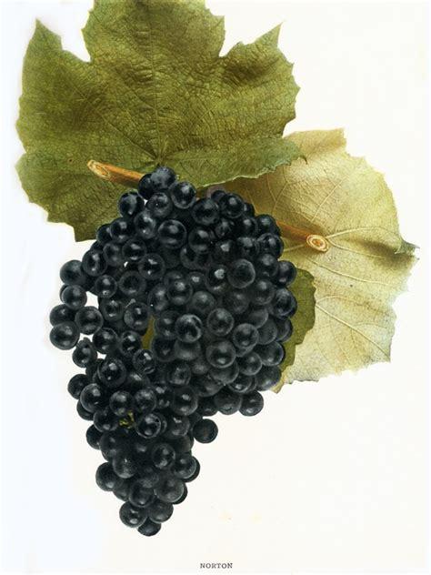 mustang grape wine wine grapes of america wine folly