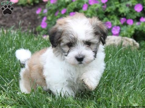 havanese breeder ohio havanese puppies picmia