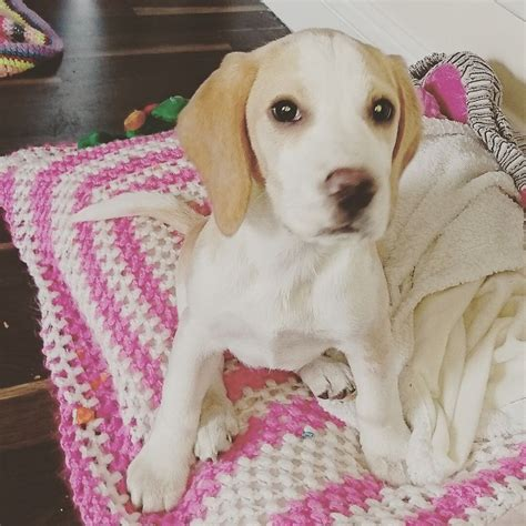 forever puppy for sale still for sale beagle puppy needs forever home burnley lancashire pets4homes