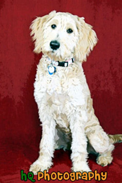 goldendoodle puppy panting apricot goldendoodle puppy painting pictures