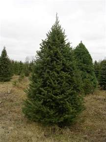 3 5 balsam fir tree falmouth high school choral boosters