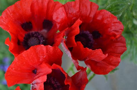 grow l for how to grow the oriental poppy papaver orientale the