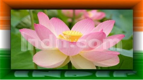 lotus national flower the national flower of india indian national flower lotus