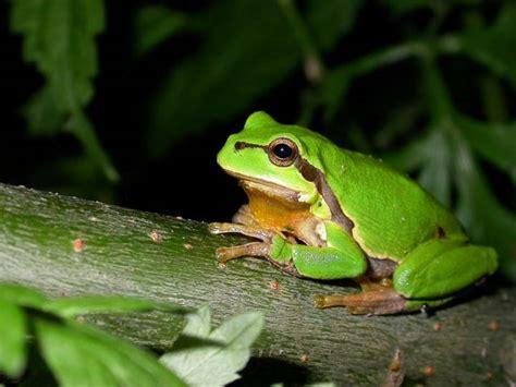 una rana a frog 191 cu 225 l es la diferencia entre sapo y rana 187 respuestas tips