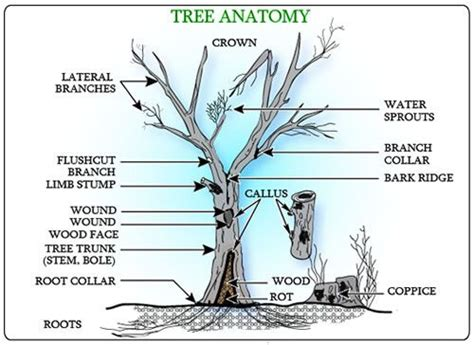 parts of a tree diagram parts of a tree jpg 500 215 364 science