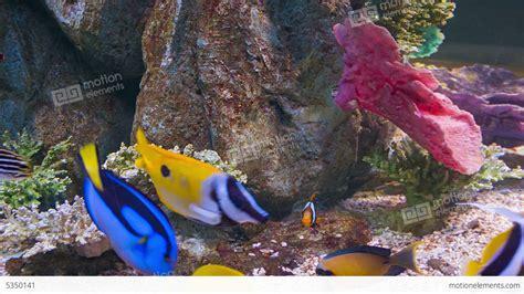 Colorful Fish Tanks Colorful Tropical Fish In Aquarium Stock Footage