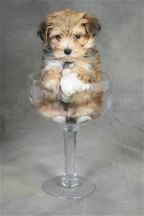 pitbull yorkie mix puppies best 25 morkie puppies ideas on yorkie terrier mix teacup maltese