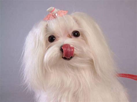 da appartamento pelo corto maltese pelo corto cani taglia piccola razza maltese