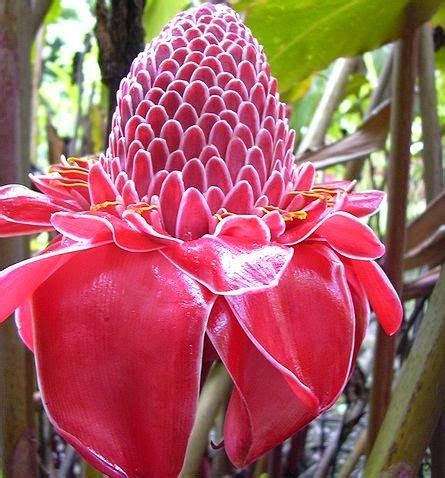 manfaat  khasiat tanaman kecombrang  kesehatan