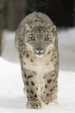 snow leopard facts  kids