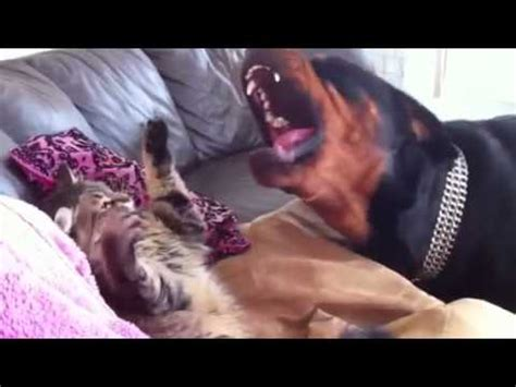rottweiler and cats rottweiler cat fight
