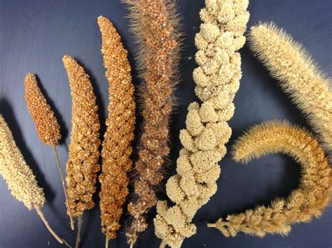 Millet For The And take a moment for millets uc food observer