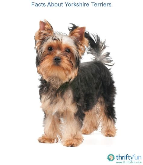 facts about yorkie facts about terriers thriftyfun