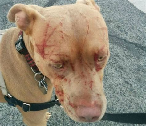 how to pitbull puppies to be guard dogs guard cat attacks pit bull leaving owner bloodied in saanich b c