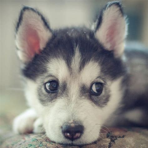 how many rounds of do puppies get pix we husky puppies make us want to howl