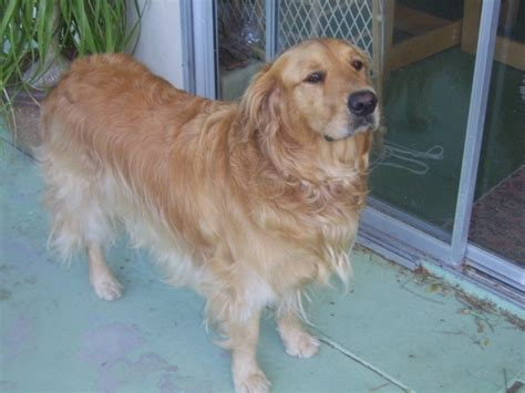 pictures of golden retriever haircuts pictures of golden retriever haircuts golden retriever