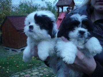 havanese puppies for sale in oklahoma havanese puppies for sale glasgow uk free classifieds muamat