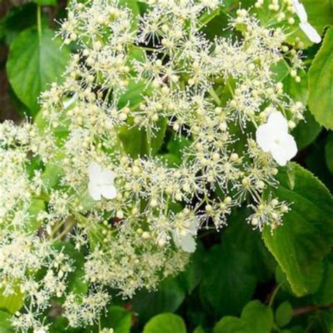 Almost Cluster Brown Glossy Original Ca3912 onlineplantcenter 1 gal climbing hydrangea vine h688g1 the home depot