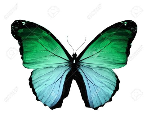 imagenes de dos mariposas juntas butterflies flying morpho green butterfly isolated on