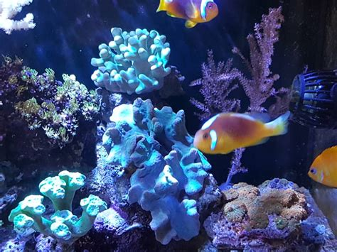 fish for sale white bonnet clownfish pair sell pasar malam shop singapore reef club