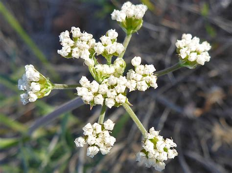 small white flower plant is unbrella like tiny white flowers pictures of lomatium nevadense