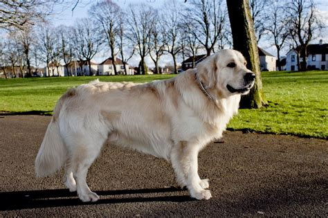 golden retriever stud golden retriever for stud glasgow lanarkshire pets4homes