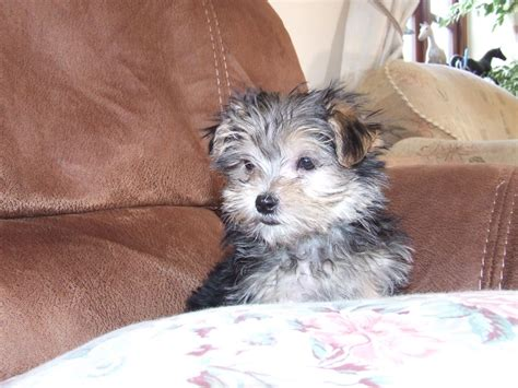 maltese yorkie puppy maltese terrier x terrier liss hshire pets4homes
