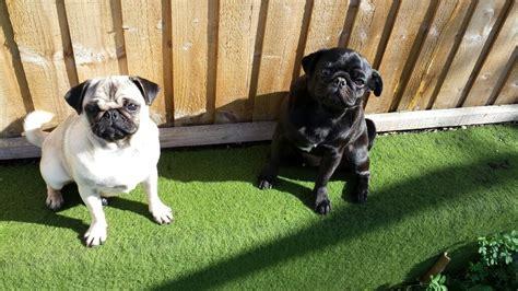pair of pugs pair of pugs bristol bristol pets4homes