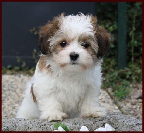 bichon havanese dogs 101 25 best bichon havanais images on