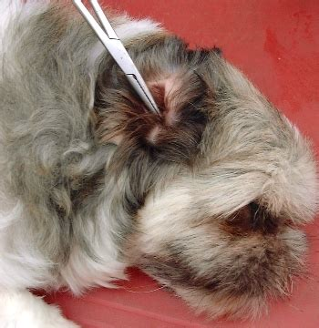 shih tzu ear cleaning dogs ear canal memes
