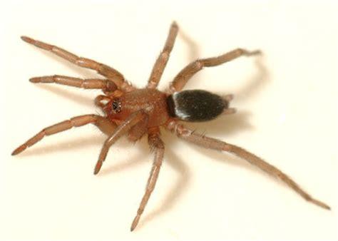 gnaphosid spider