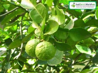 Bibit Jeruk Purut tanaman buah jeruk purut unggul jualbenihmurah