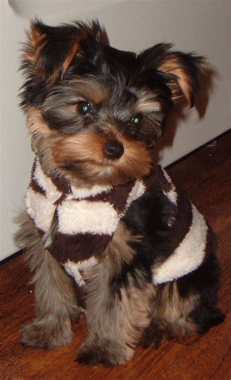boy yorkie puppies yorkie dogs yorkie friendzy boys to find out and