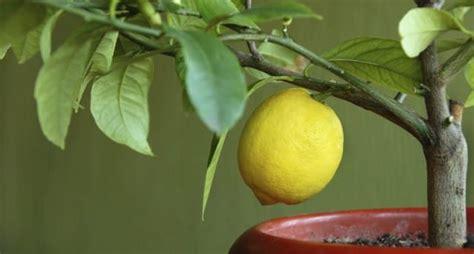 pianta limone in vaso cura come coltivare i limoni in vaso non sprecare