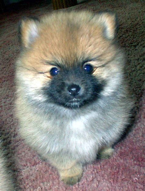 black and white pomeranian puppy puppy dogs black and white pomeranian puppies