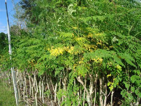 A Tree Miracle Free Moringa Oleifera Trees Moringatrees