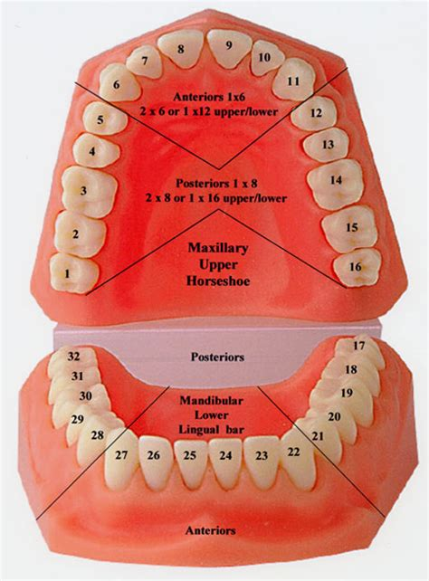 tooth diagram numbers tooth numbers diagram pi dental center