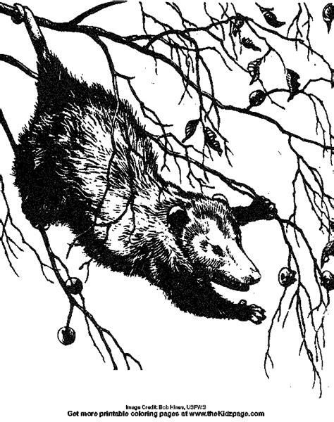 Opossum Pictures To Color Images Opossum Coloring Page