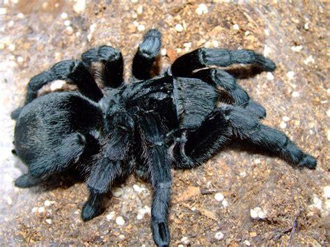 baby black tarantula