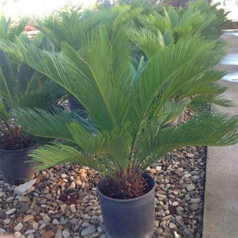 palme da vaso tipi di palme da vaso trendy una veduta giardino di