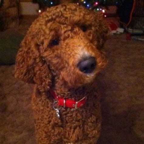 cutting a poodle terriers hair 260 best airedale terrier or red standard poodle images